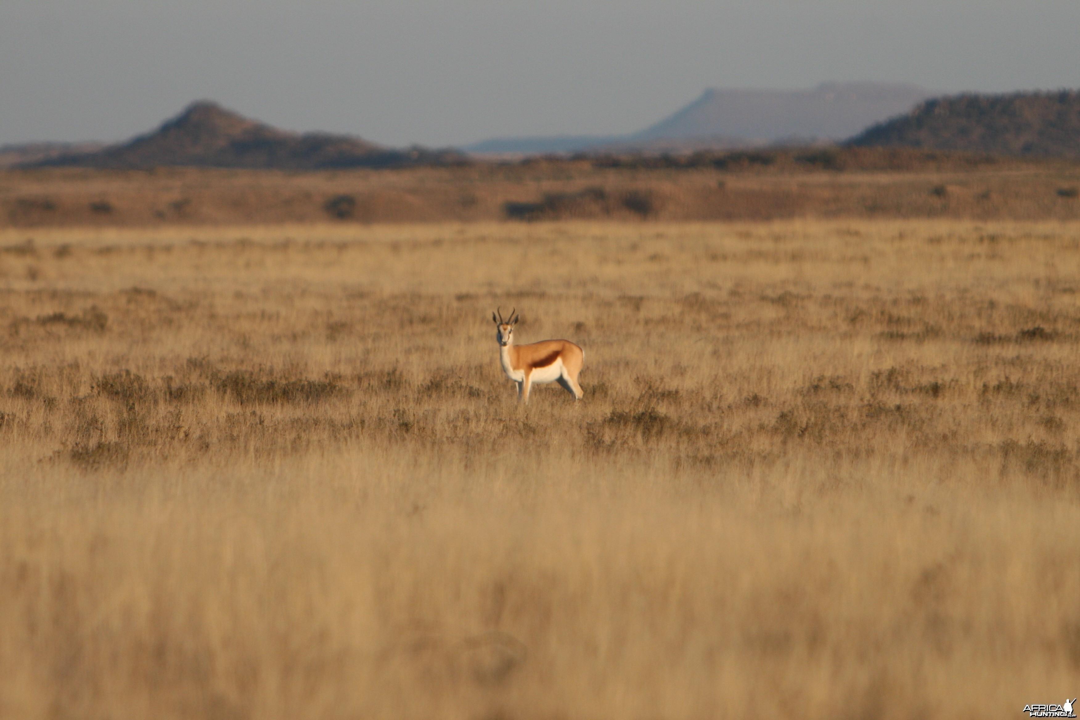 Springbok Doe