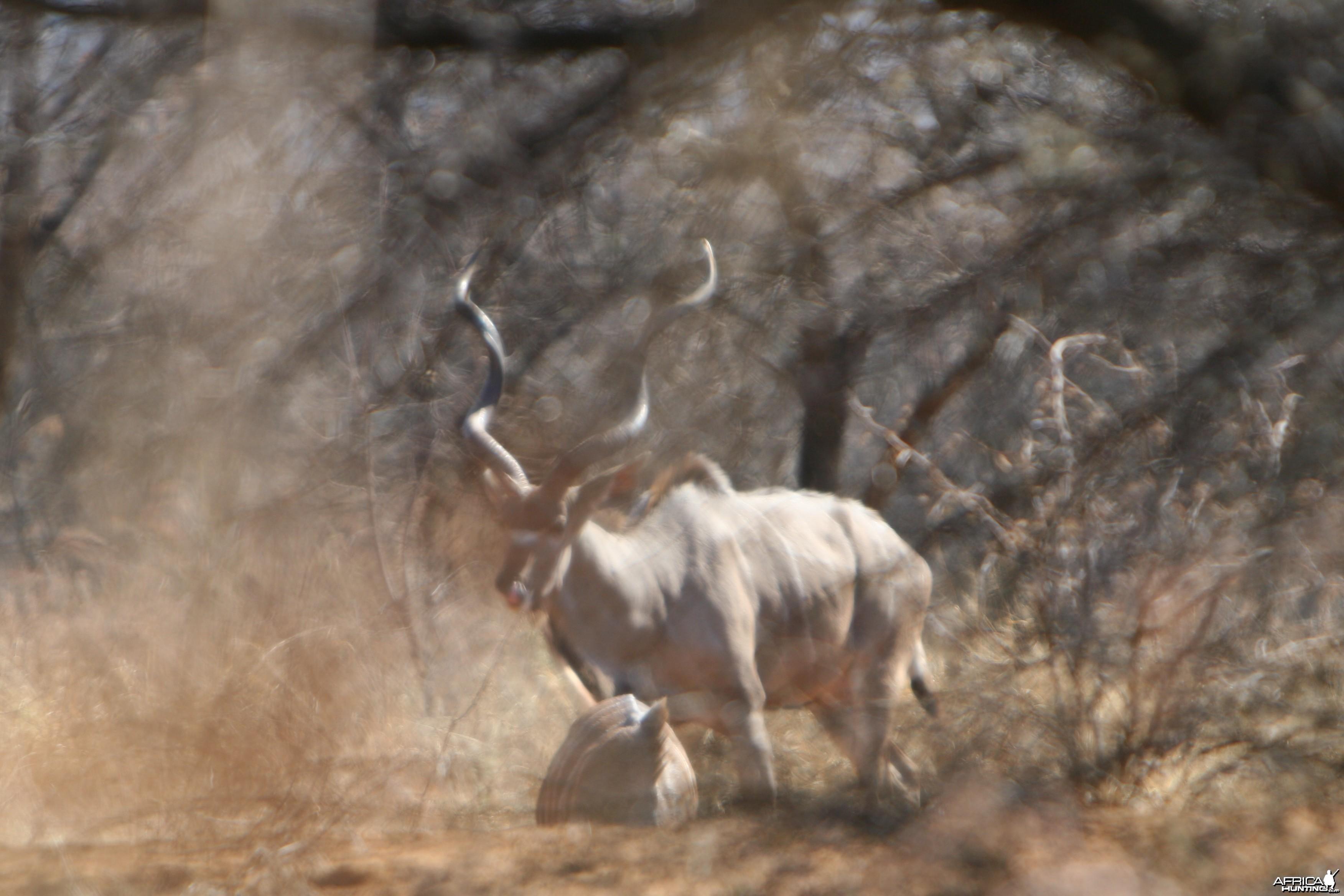 First Kudu Bull