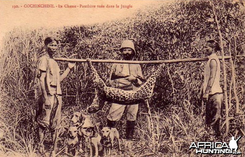 Hunting Panther with dogs