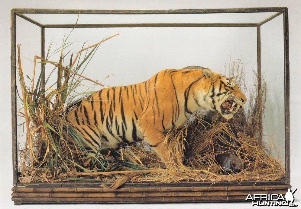 Taxidermy Tiger