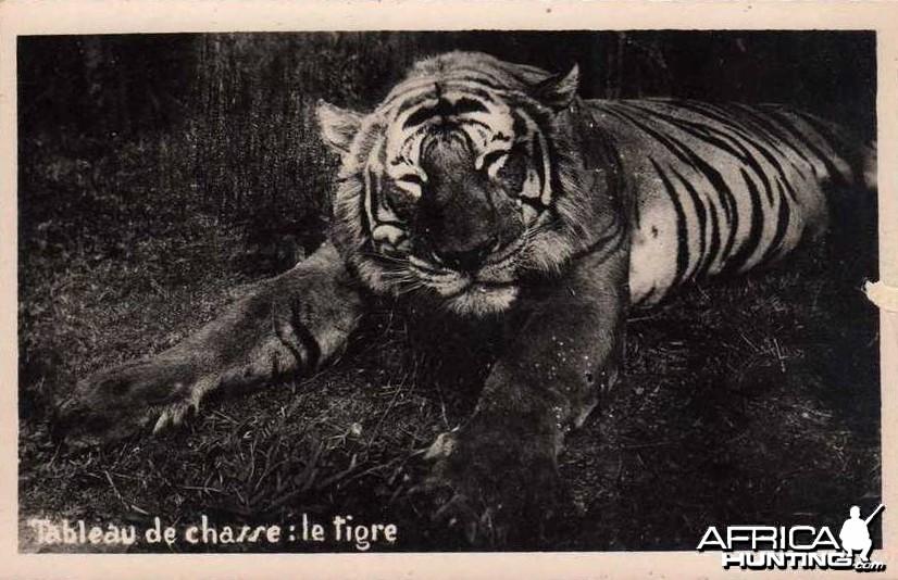 Hunting Tiger