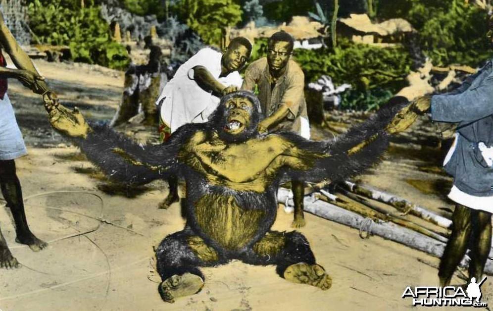 Gorilla Senegal