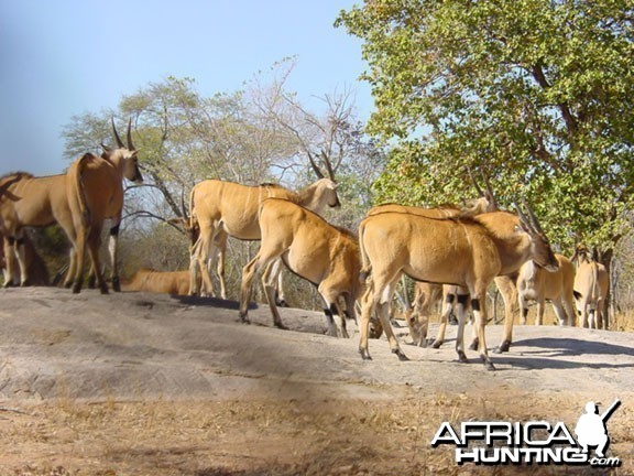 Livingstone's eland Zambia