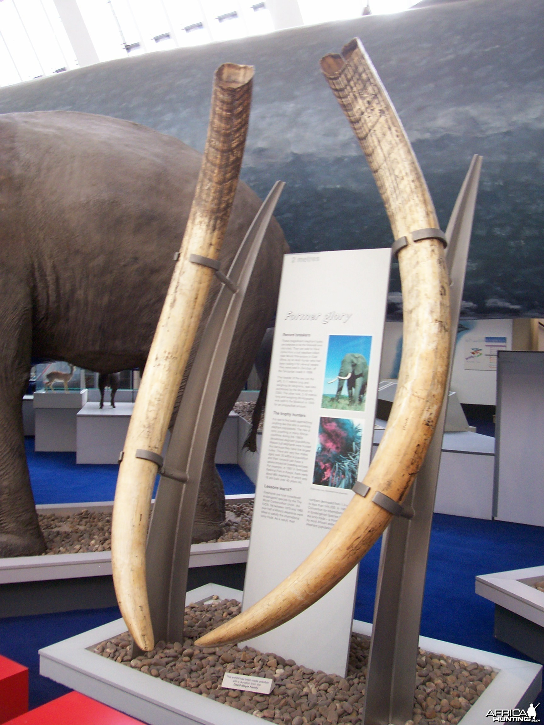 Tusks in British Museum of Natural History