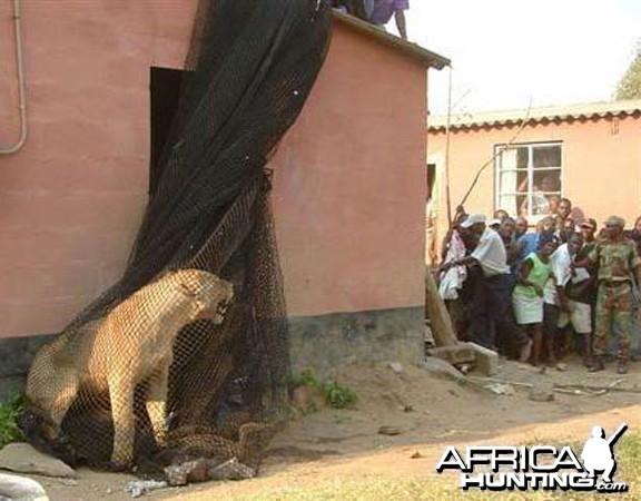 Lioness in net