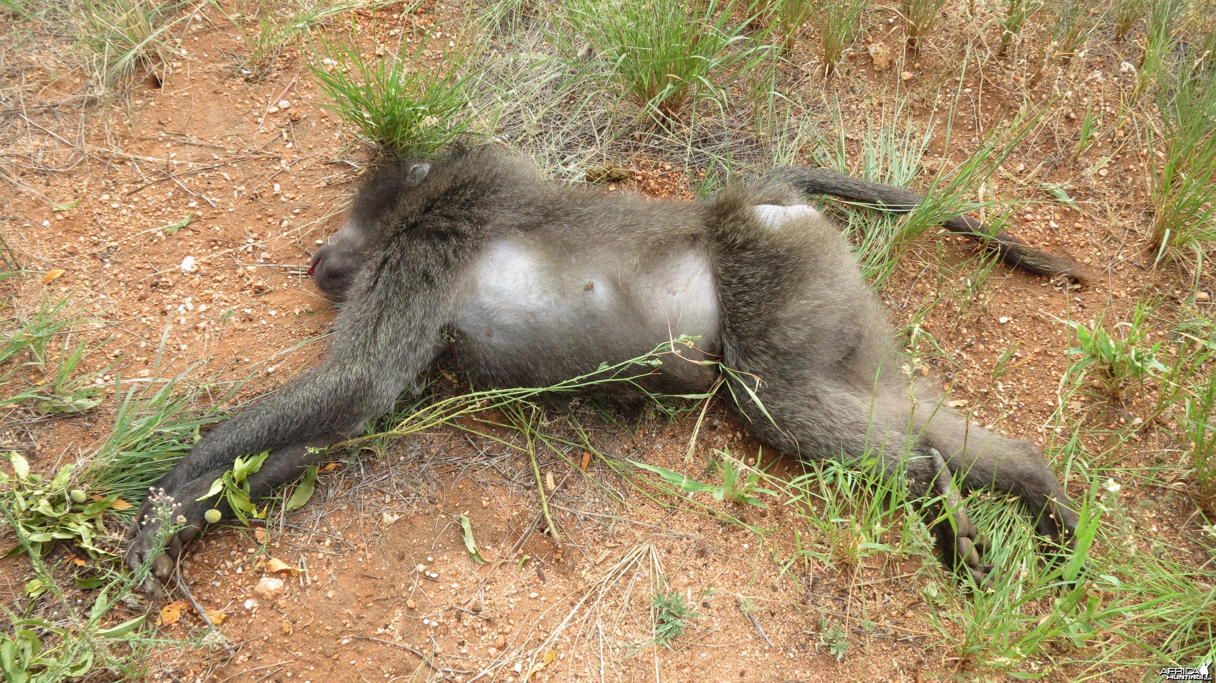 Chacma Baboon Namibia