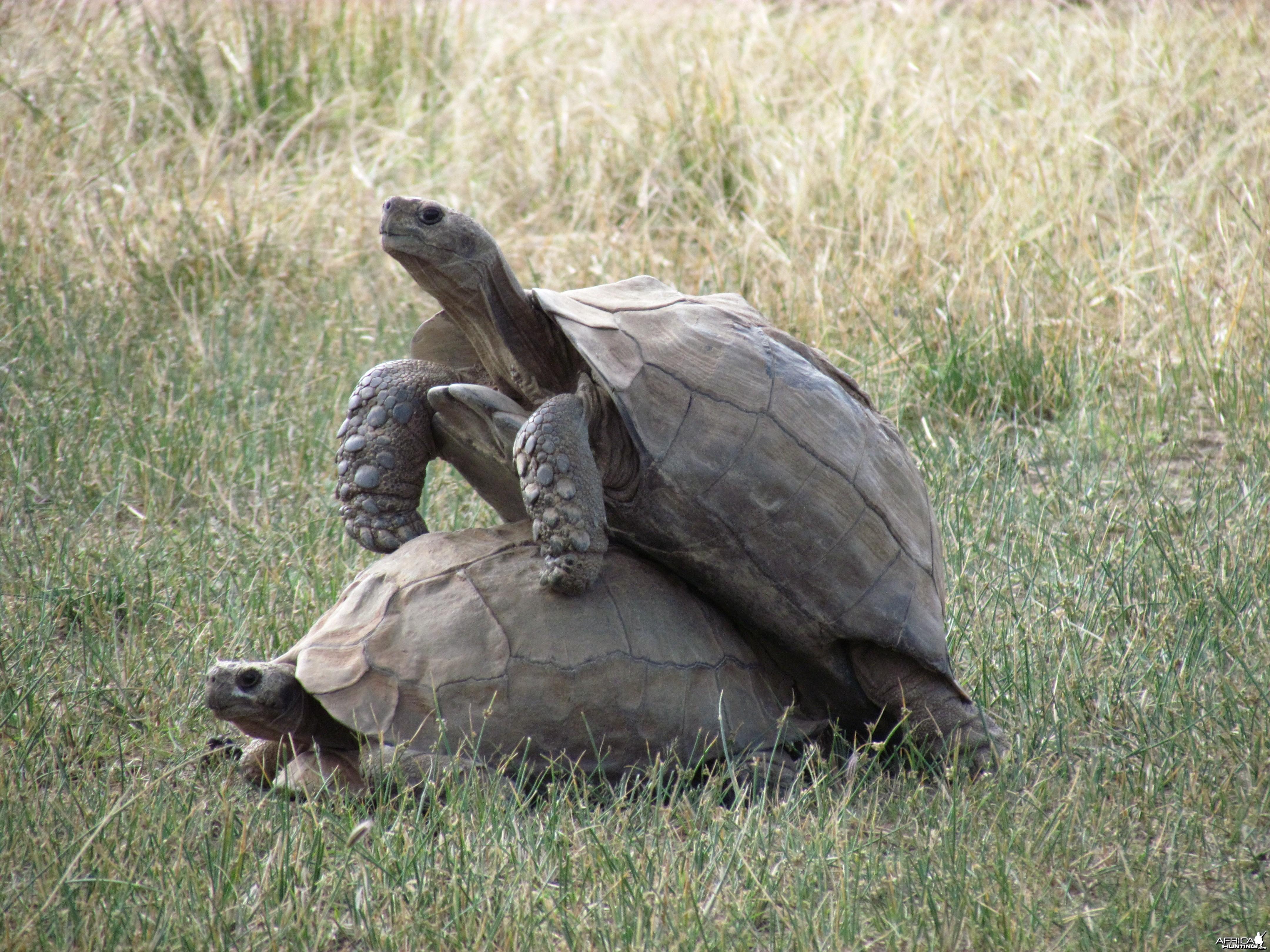 Tortoise Tango