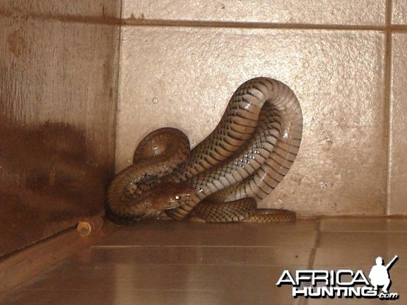 Mozambique Spitting Cobra in the shower