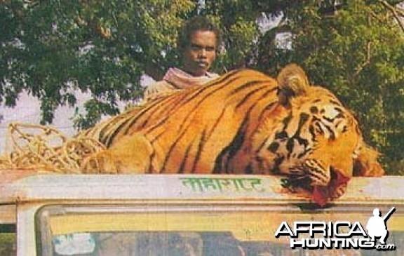 Man-eater Tiger