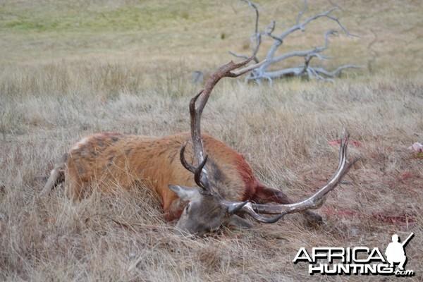 joysies first ever deer 13 point red australia day weekend jan 2012