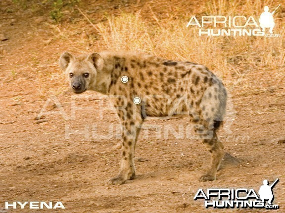 Hunting Hyena Shot Placement