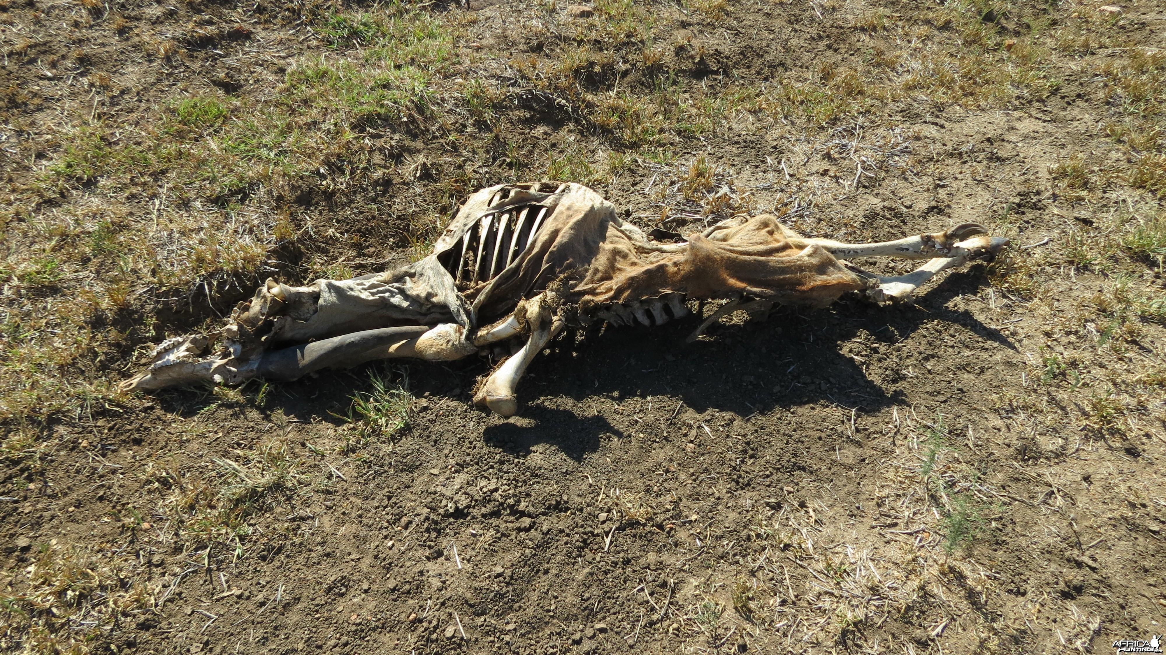 Eland skeleton Namibia