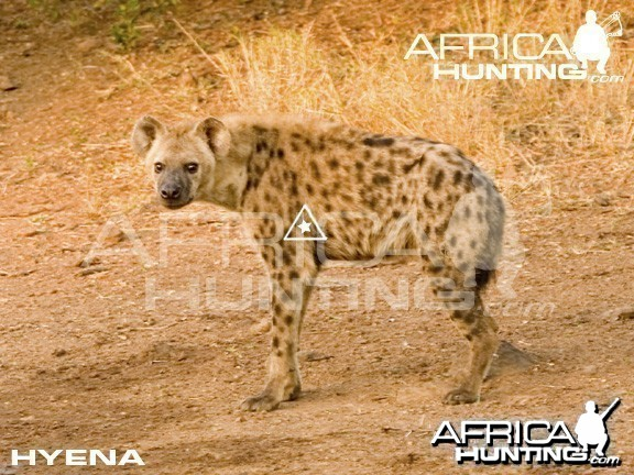 Bowhunting Hyena Shot Placement
