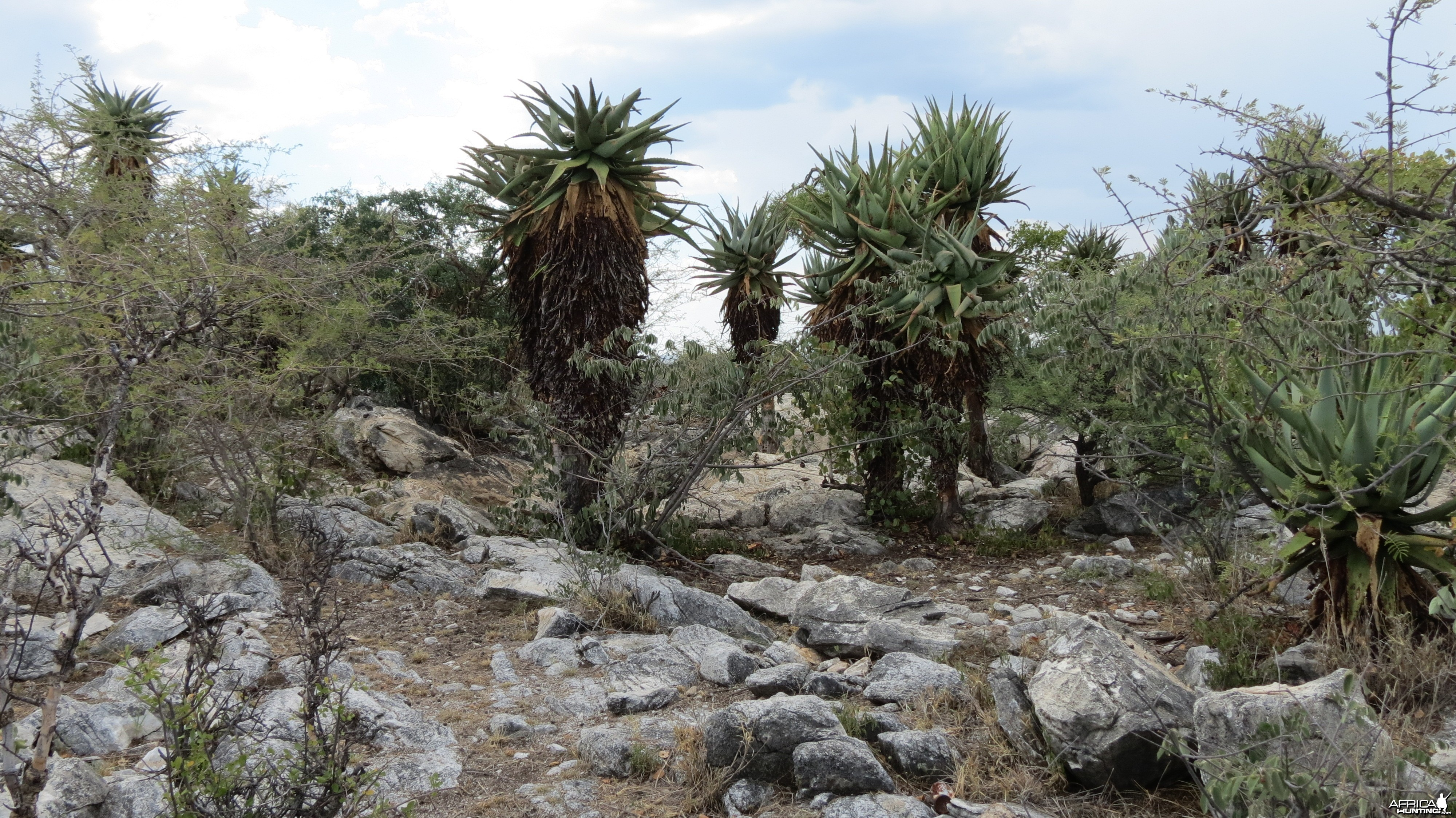 Aloes Namibia