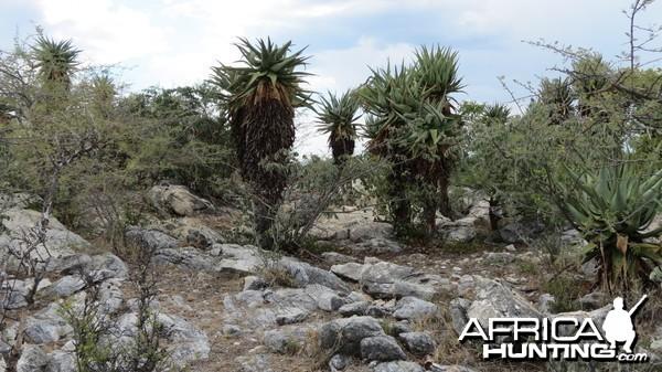Aloes Namibia