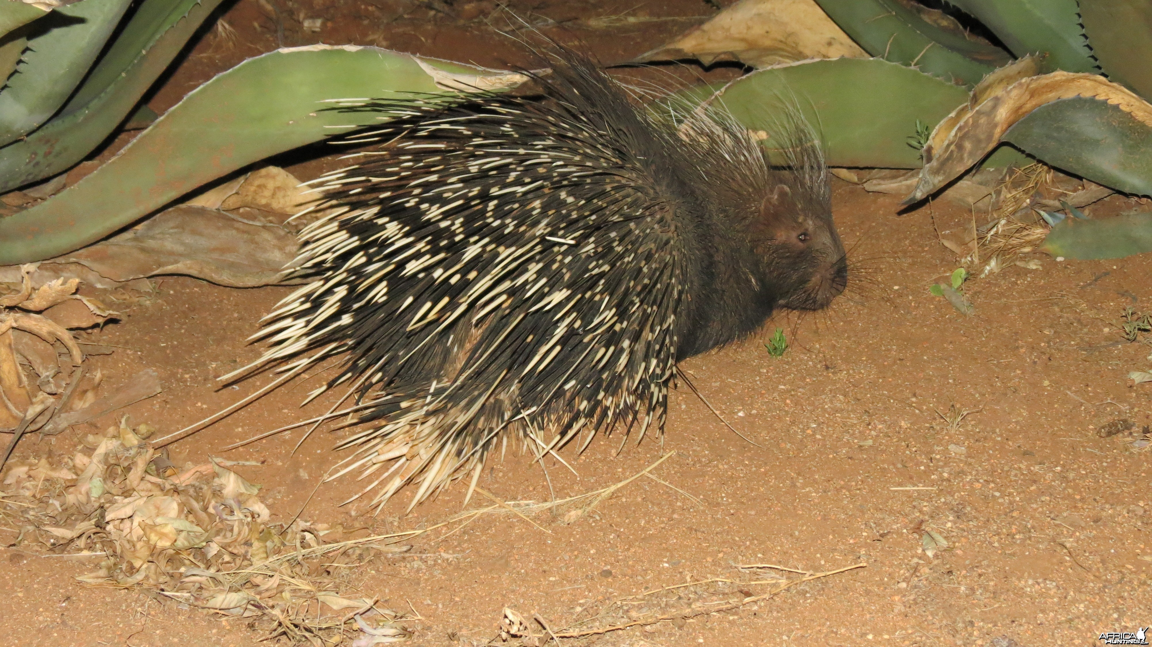 African Porcupine Namibia