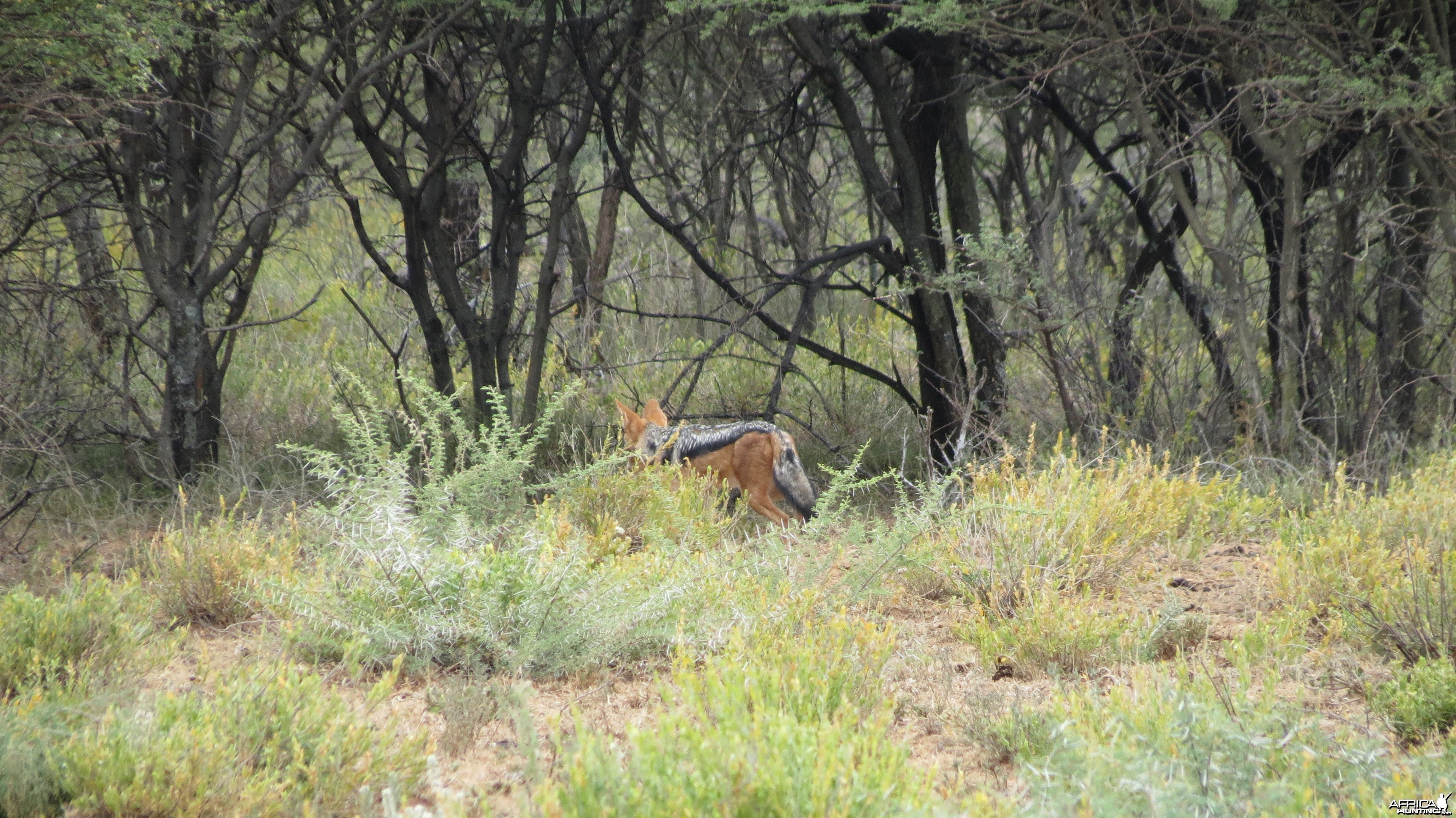 Back-Backed Jackal Namibia