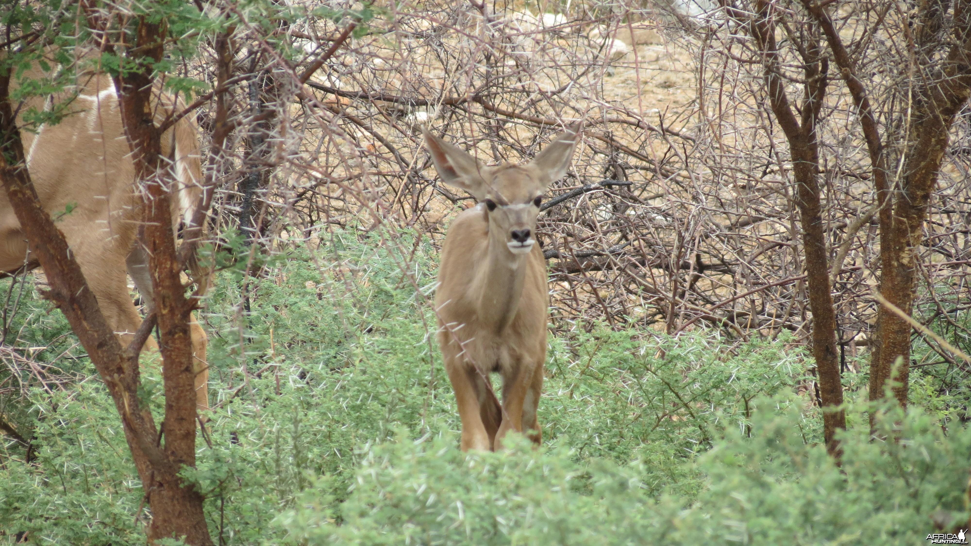 Young Kudu Namibia