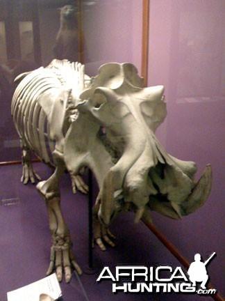 Hippopotamus Skeleton