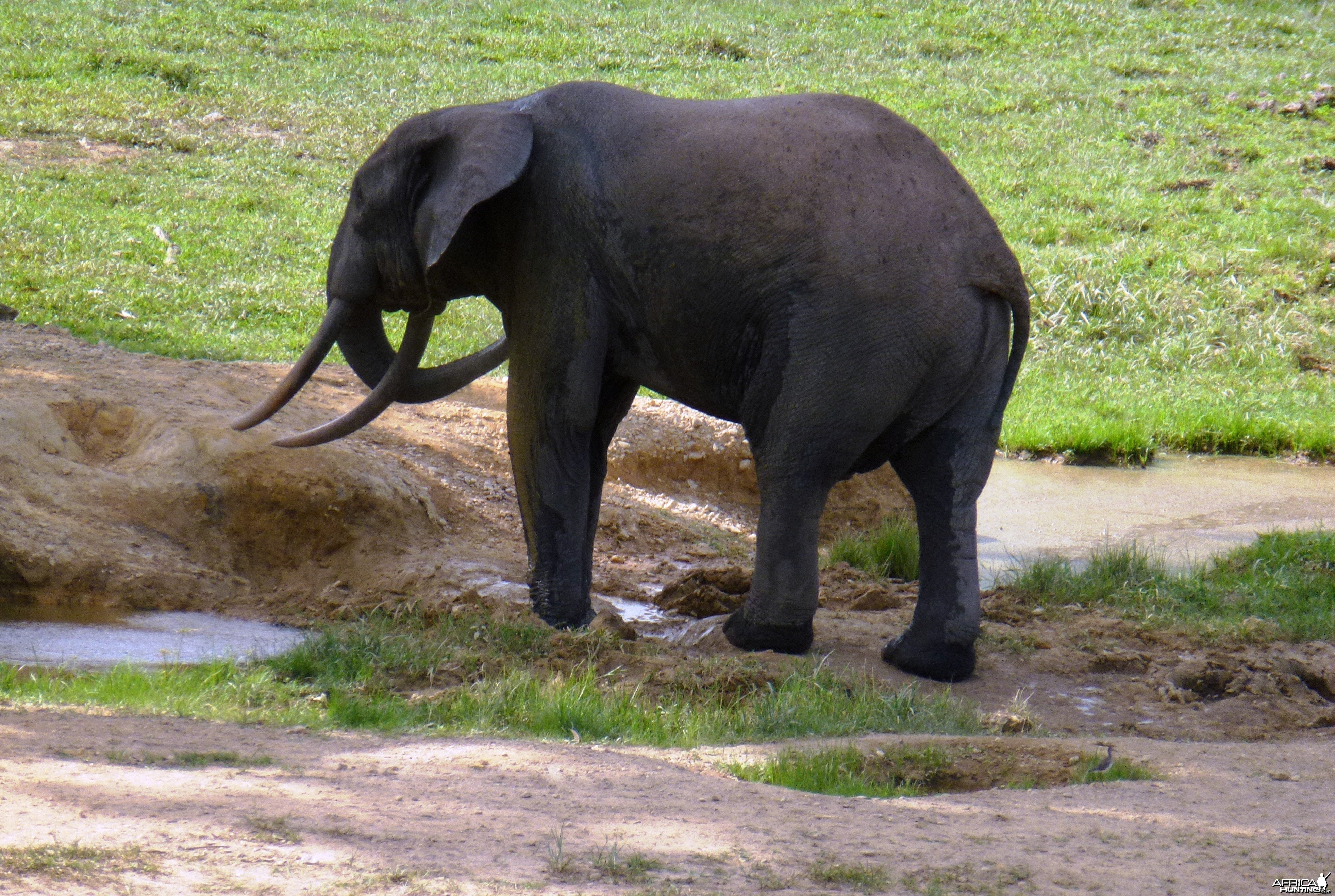 Forest Elephant Central Africa