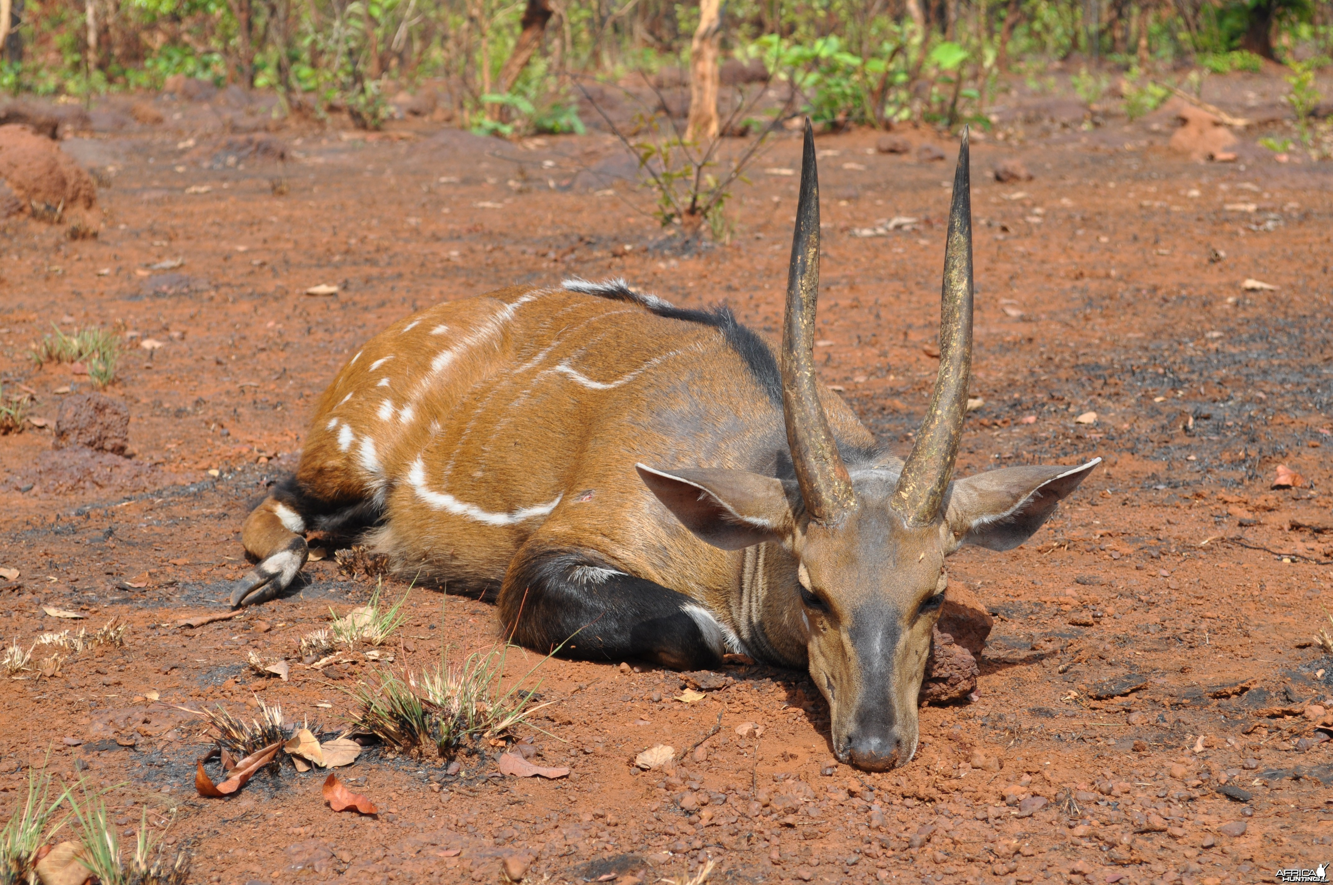 Big harnessed bushbuck