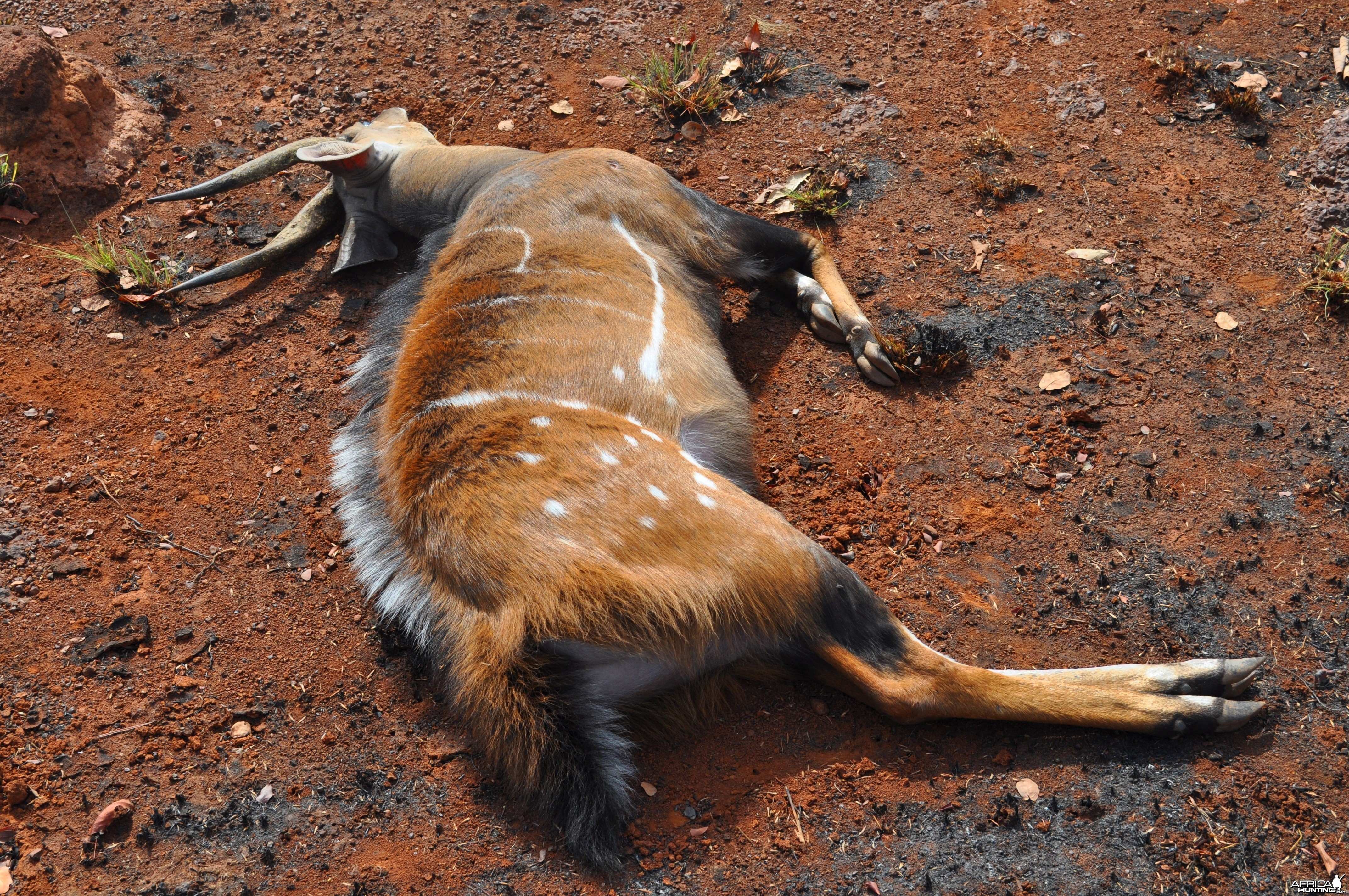14 inch harnessed bushbuck