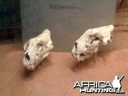 Skulls Of The Man Eating Lions of Tsavo