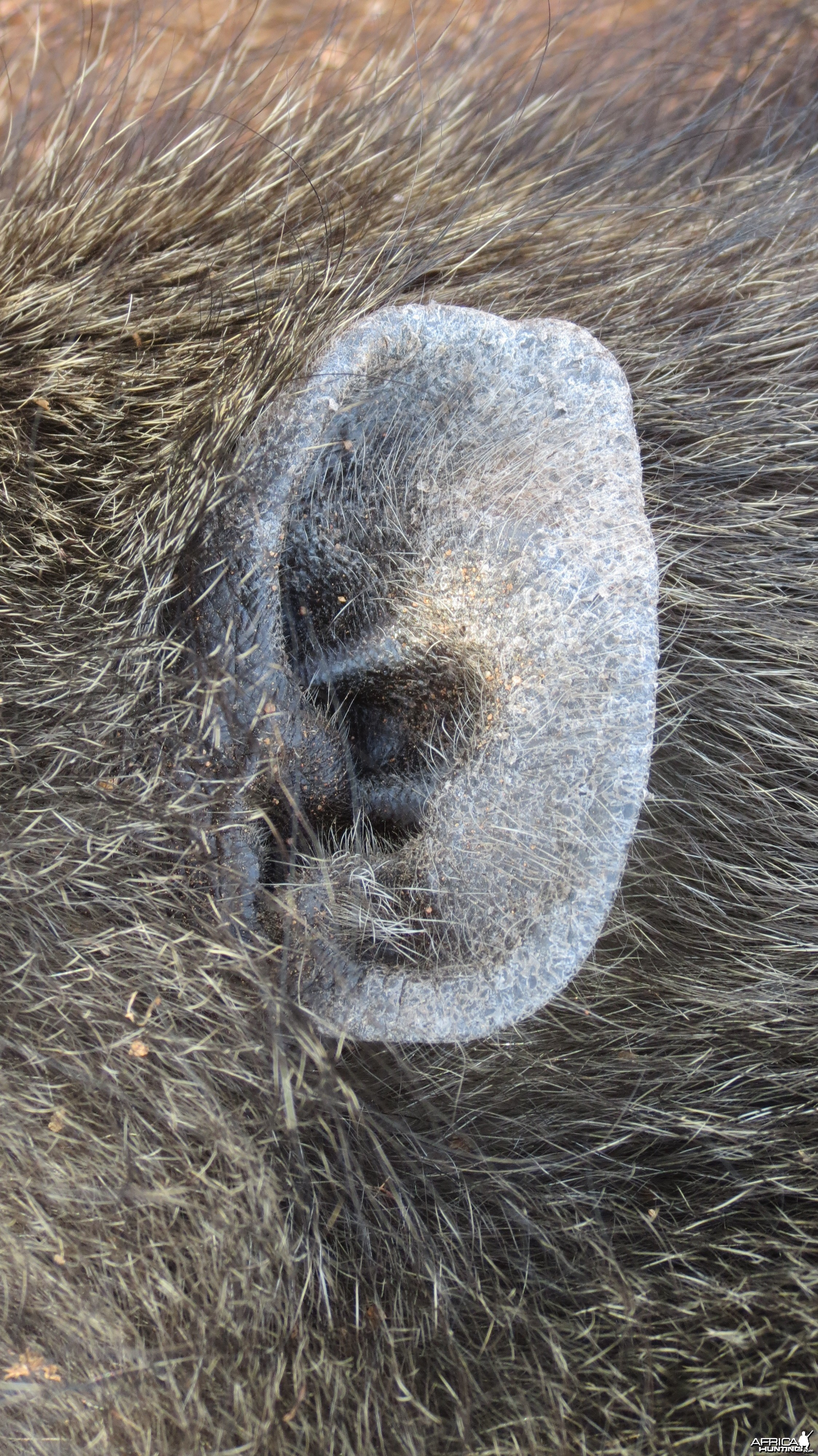 Chacma Baboon ear
