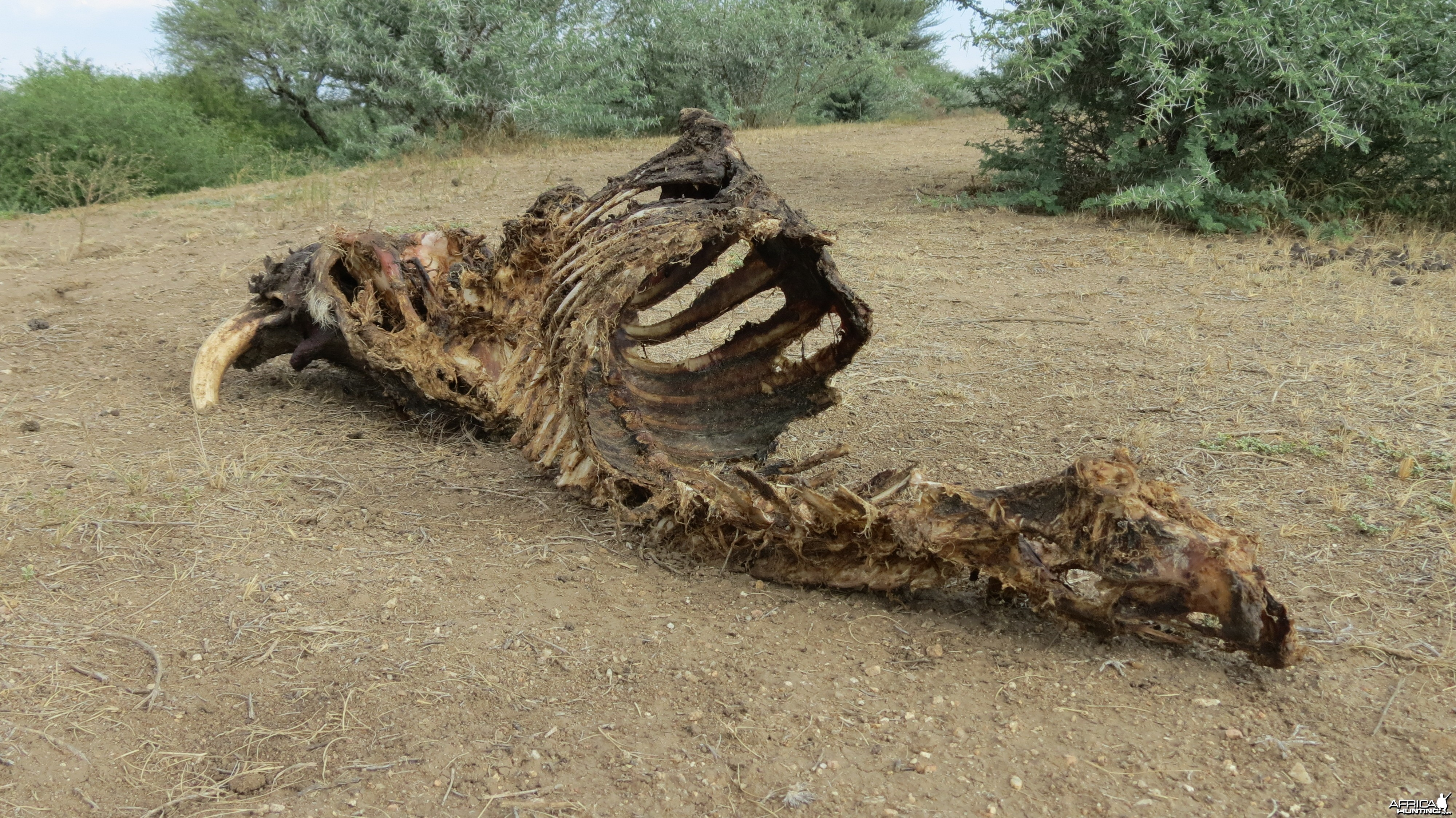 Warthog Carcass Namibia
