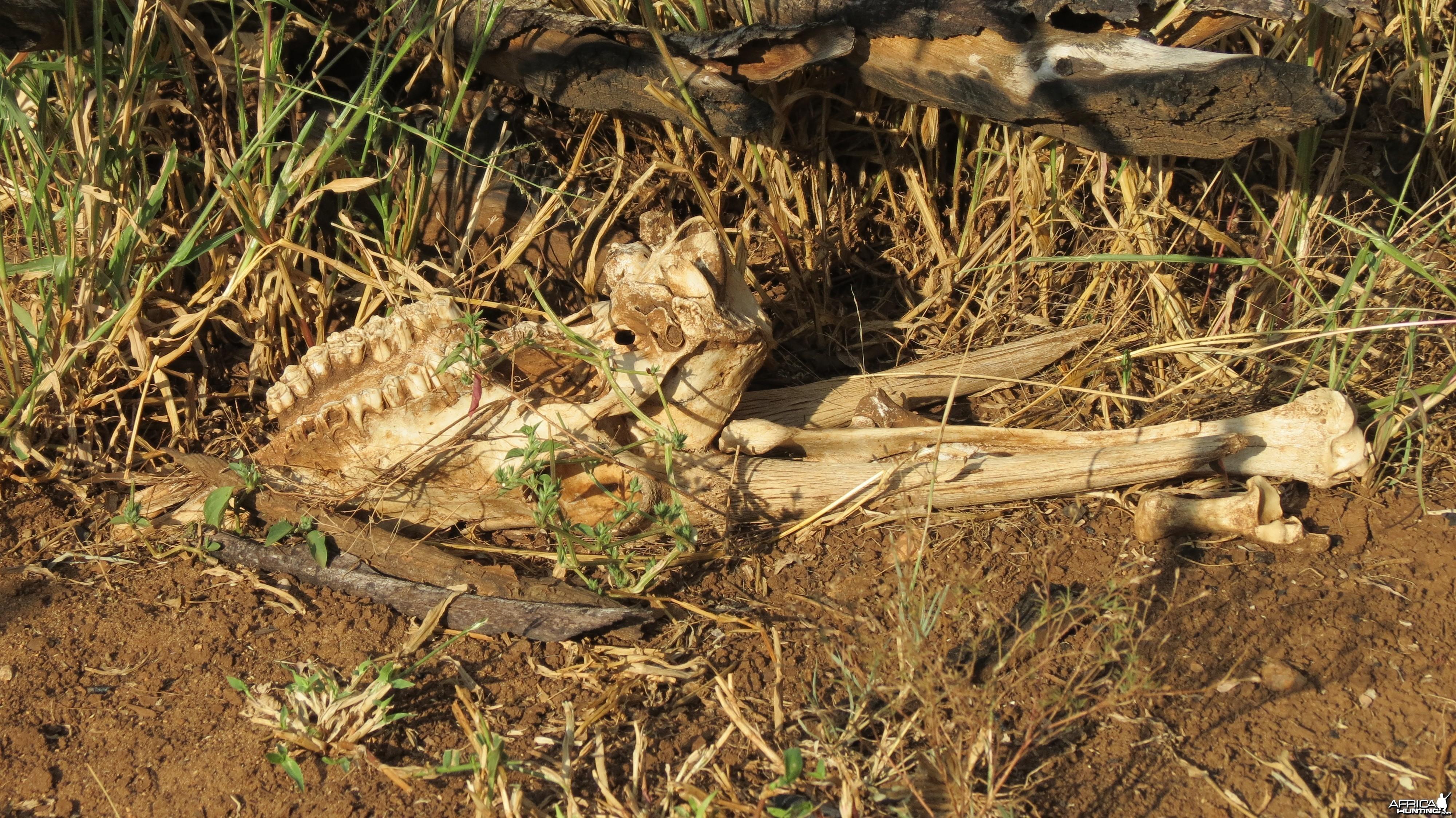 Gemsbok Carcass Namibia