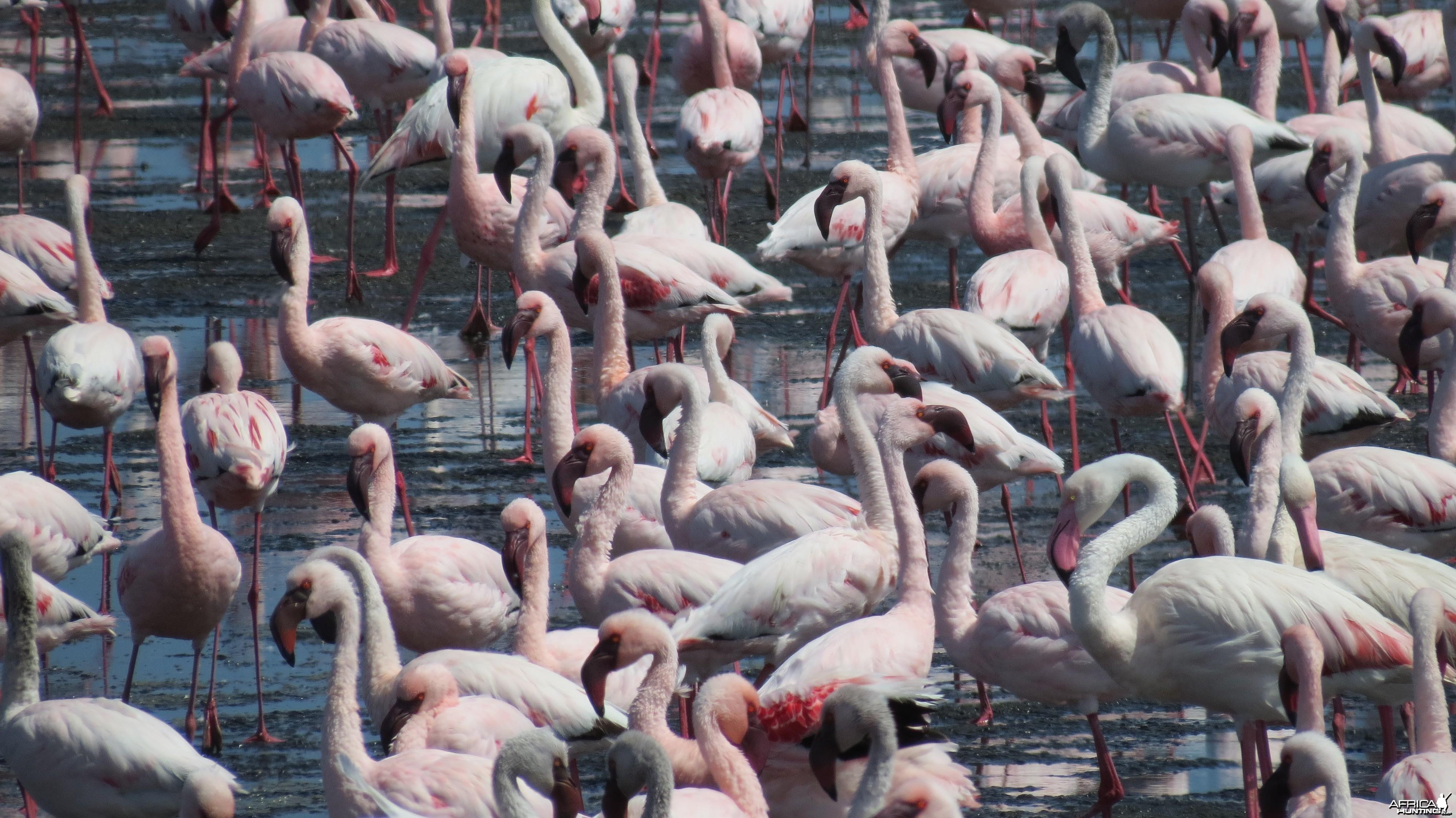 Flamingos Walvis Bay Namibia