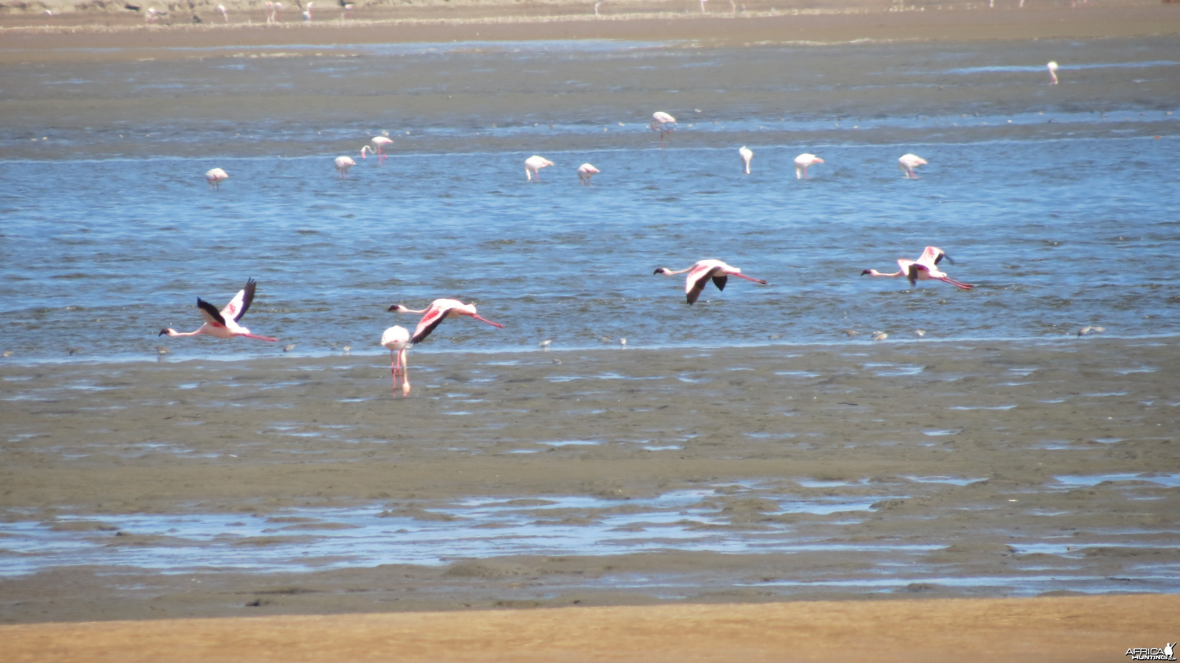 Flamingos Dorob National Park Namibia