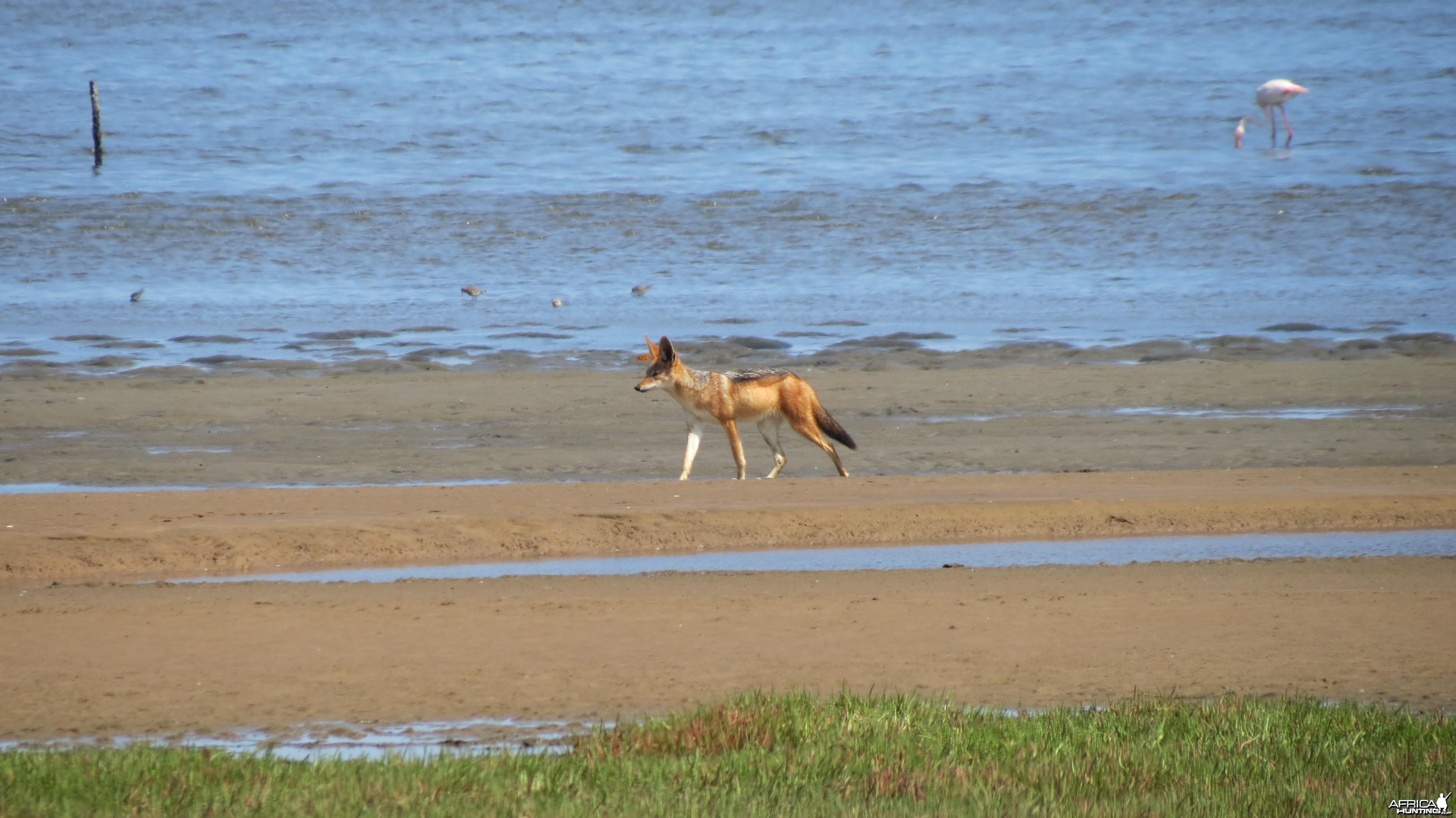 Jackal Dorob National Park Namibia