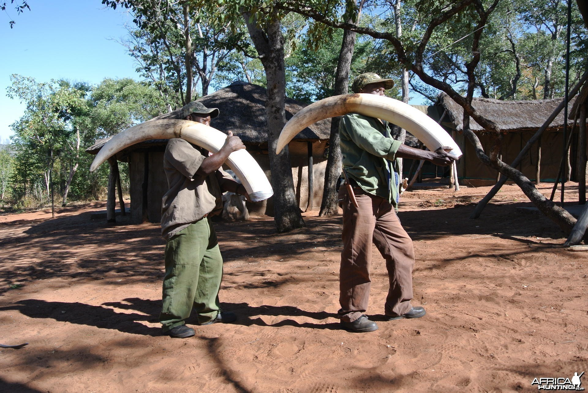 52 pound Elephant Bull