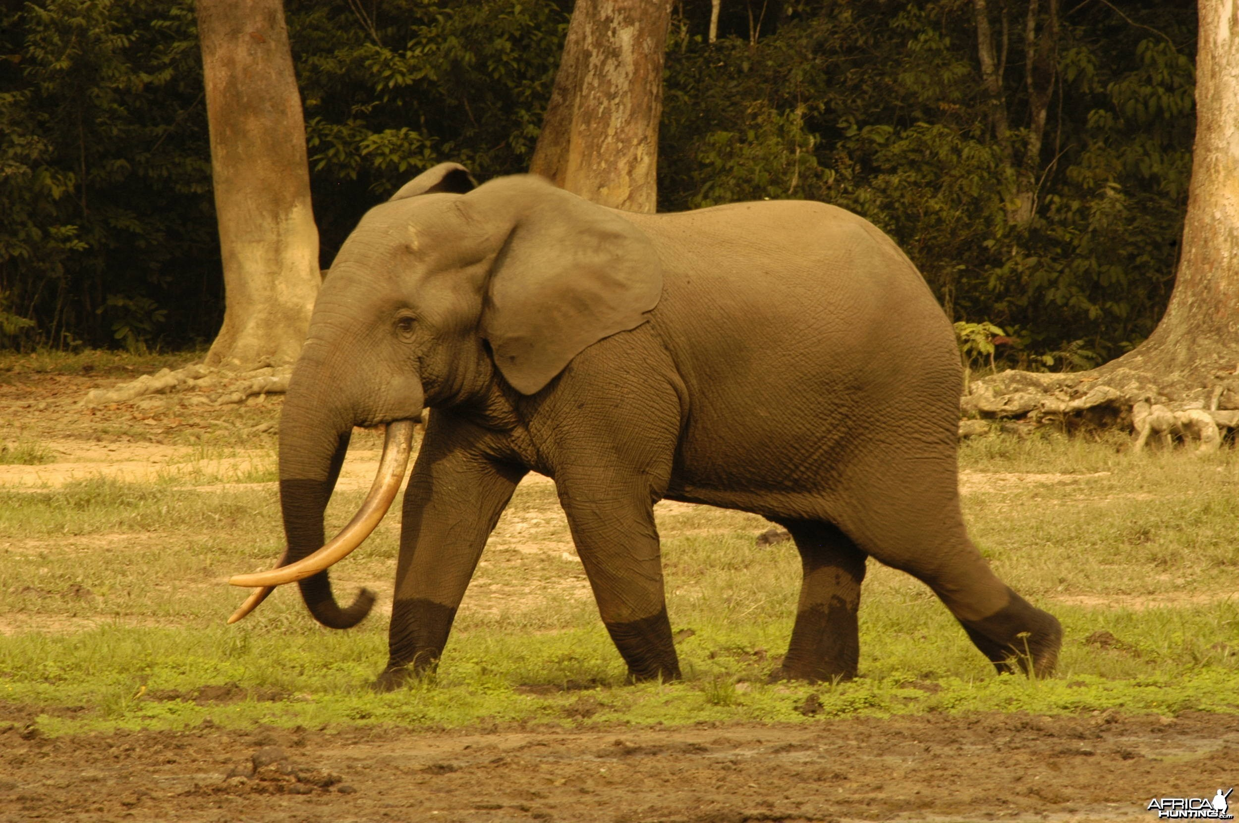 Forest tusker