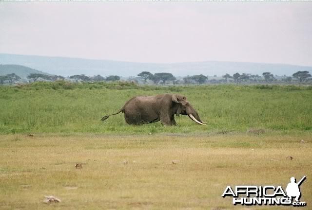 Ambroseli Elephant