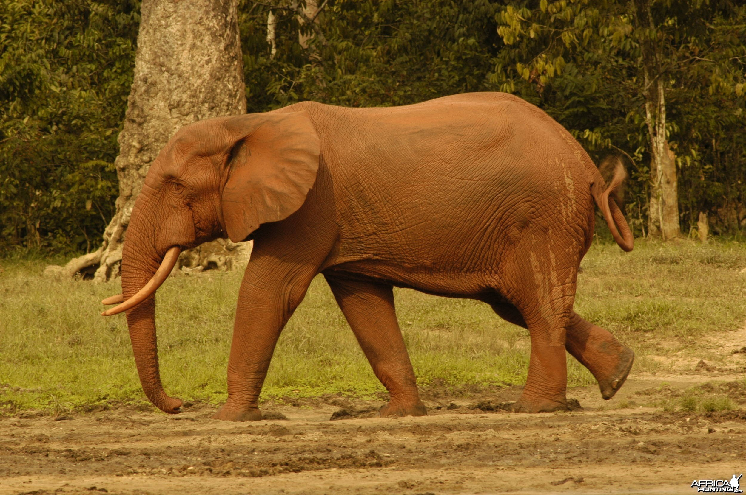 Red forest elephant