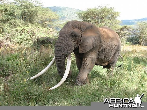 Probably the biggest tusker in Tanzania