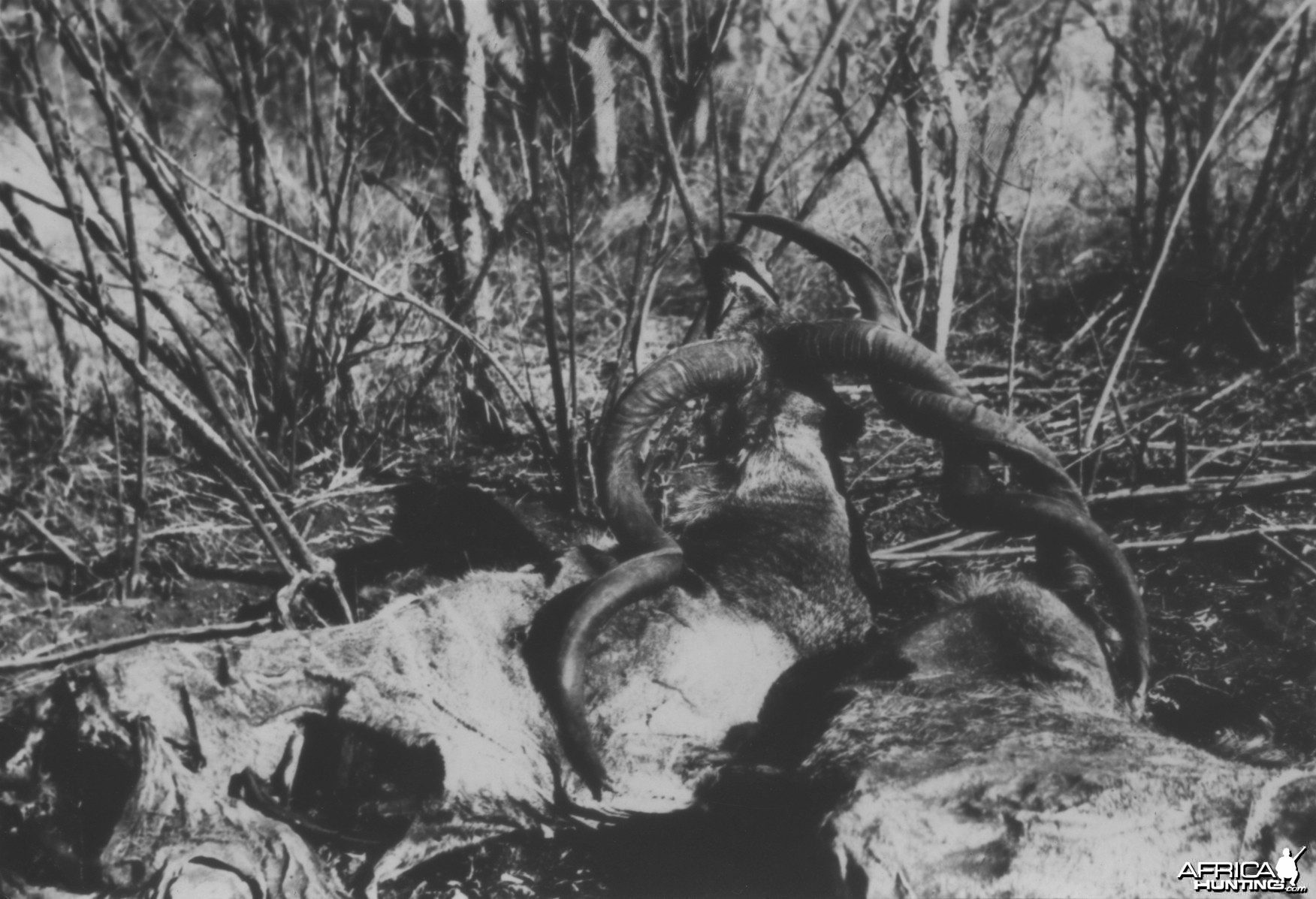 Remains of two Kudus that died from becoming interlocked