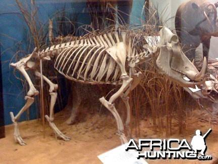 Warthog Skeleton