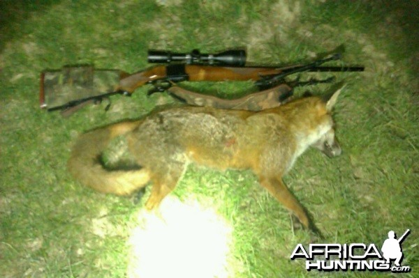 fox shot with a 220 swift