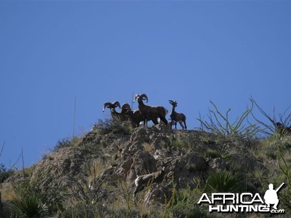 Hunting Desert Bighorn Sheep in Texas