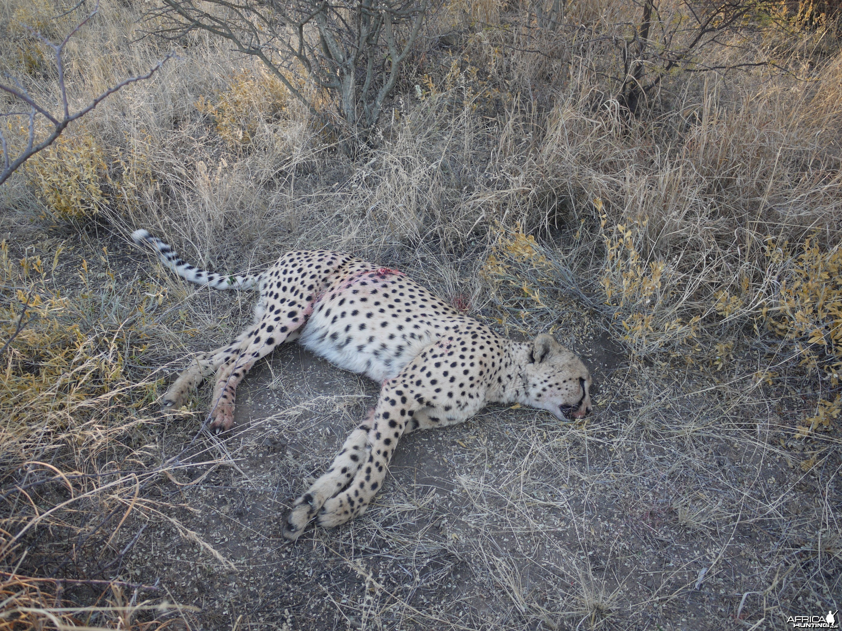 Cheetah hunted with Ozondjahe Hunting Safaris Namibia