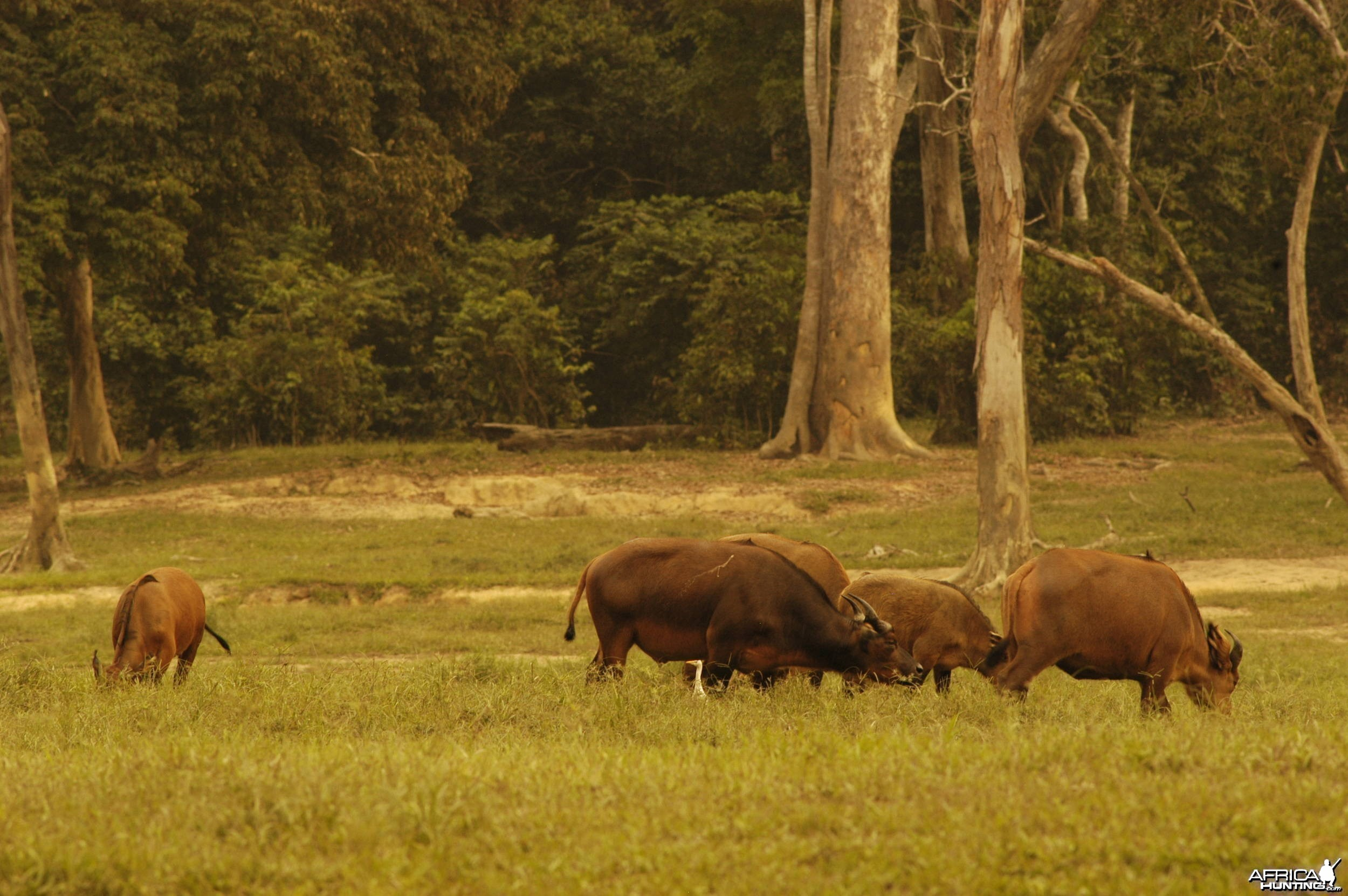 Forest Buffaloes