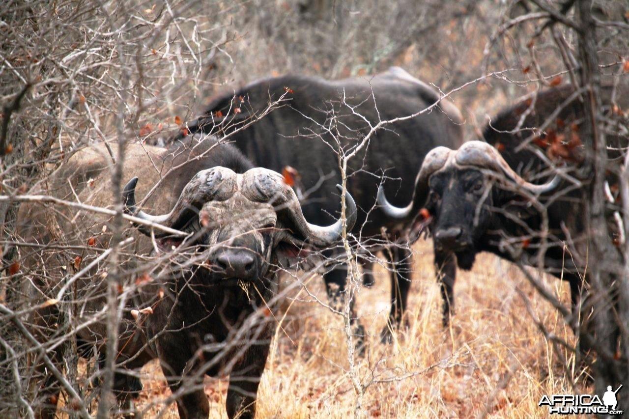 Buffalo South Africa