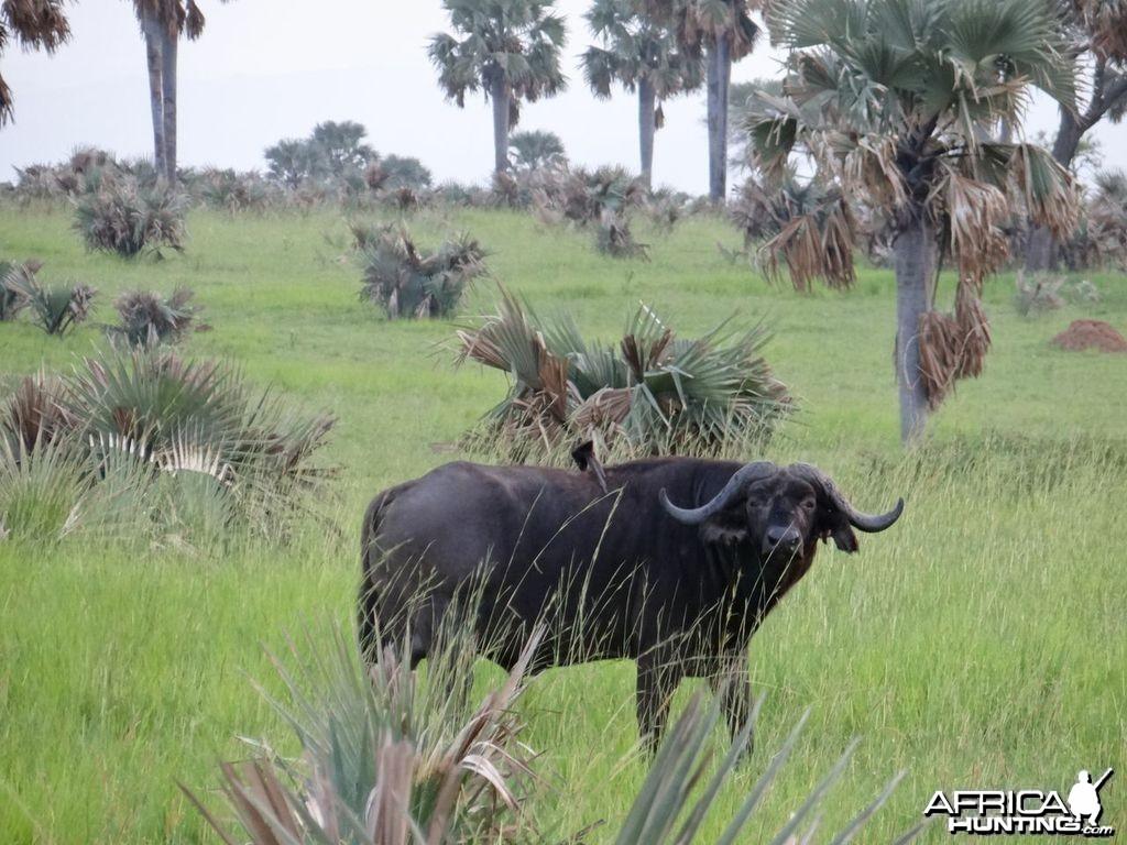 Uganda Buffalo