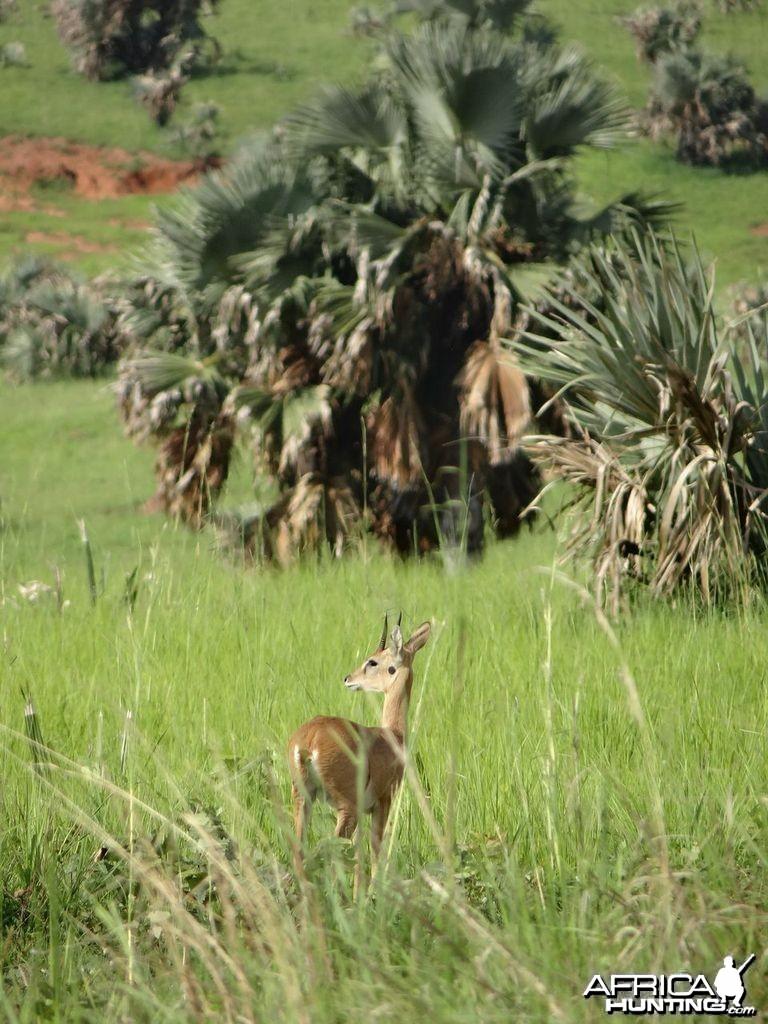 Oribi in Uganda
