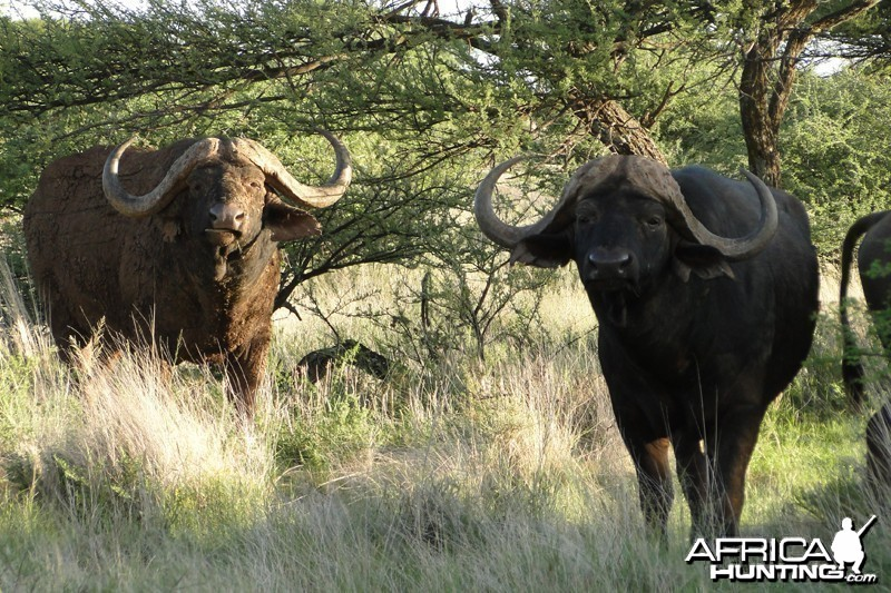 Buffalo Sengwe Zimbabwe with Wintershoek Johnny Vivier Safaris