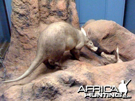Taxidermy Aardvark