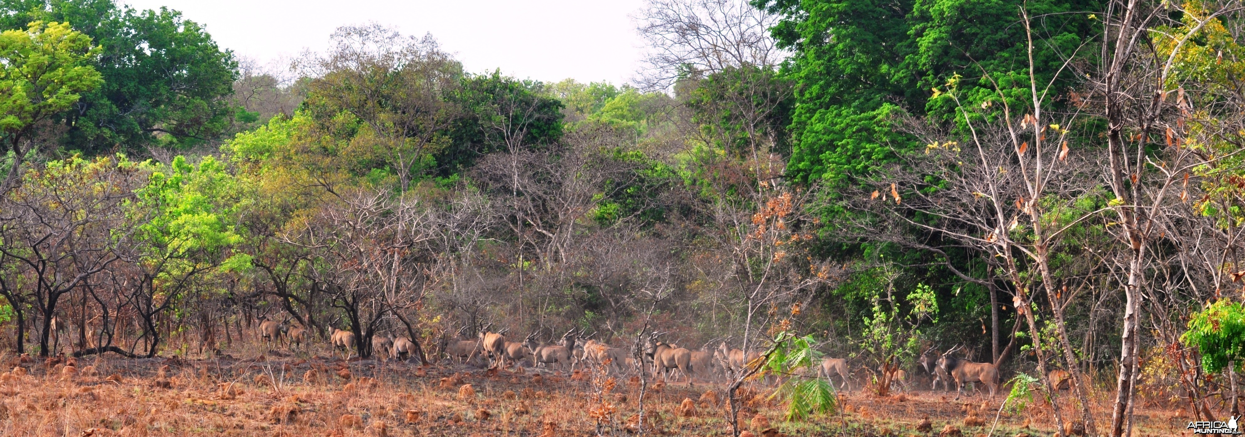 Lord Derby Eland in Central African Republic